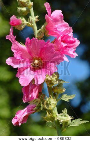 Hollyhock Rose