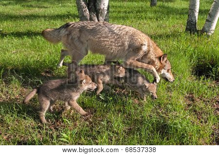 Grey Wolf (Canis lups) and Pups Run in Early Morning Sunlight - captive animals poster