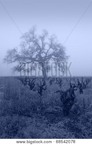 Blue Lodi Grapevines In Fog