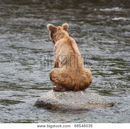 Sitting Brown Bear