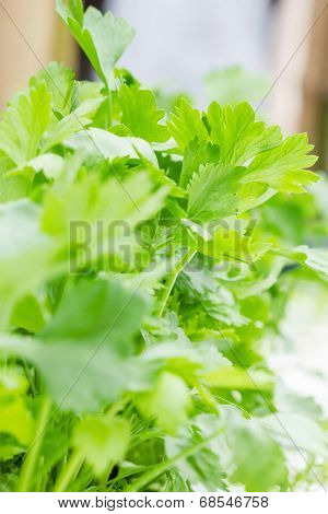 Close Up Celery Leaves  In The Garden