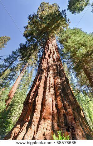 Sequoias In Mariposa Grove, Yosemite National Park