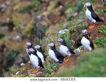 Atlantic Puffin (fratercula Arctica) On Cliff Top