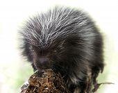 Backlit Baby Porcupine (Erethizon dorsatum) - captive animal poster