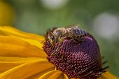 macro photo of a bee covered with pollen on a beautiful violet and yellow flower viewed from side poster