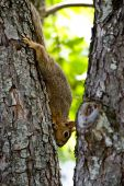 Fox Squirrel  sitting in trees and on fences. poster