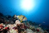 titan triggerfish ocean and sun taken in the Red Sea. poster