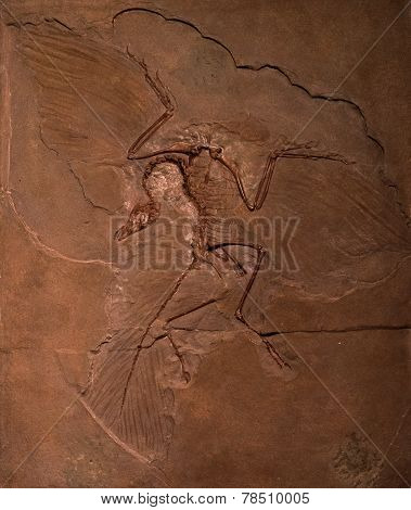 Dinosaur Fossils Of Archaeopteryx In Rock