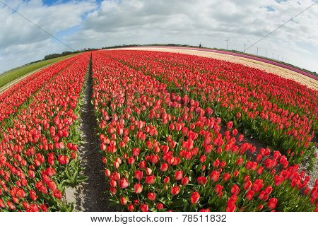 Fish eye view of a tulip field