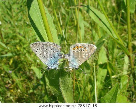 Butterflies Copulating.amanda's Blue  (polyommatus Amandus)