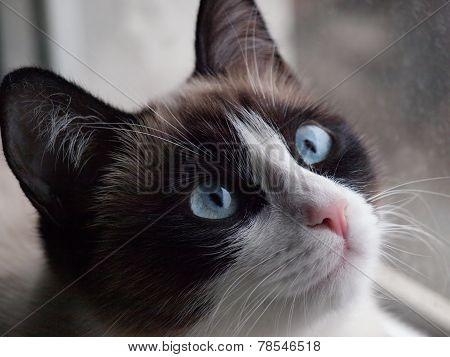 potrait of cat breed snowshoe, closeup