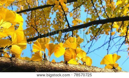 Gingko biloba leafes