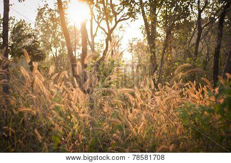 Poaceae, Grass Flower In Sun Light