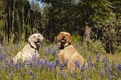 Two female Labradors sitting in the wildlflowers obeying the stay command poster