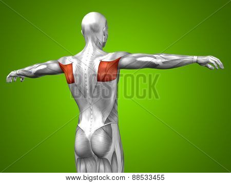 Concept or conceptual 3D back human anatomy or anatomical and muscle on green gradient background poster