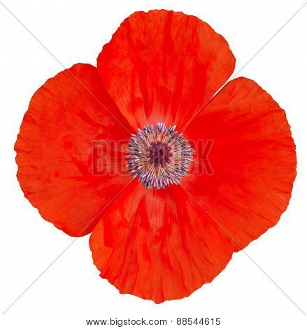 Poppy Flower. Remembrance Day
