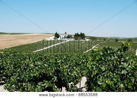 Spanish vineyard, Jerez de la Frontera.