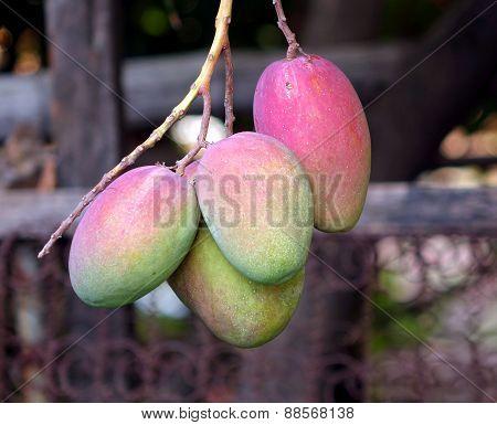 Mango Fruits On A Tree