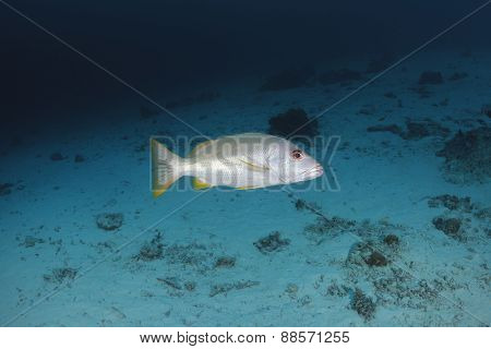 Onespot Snapper Swimm In Water Of Andaman Sea, Thailand