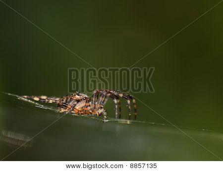 Big Spider (Araneus) in Net