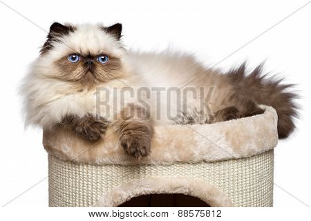 Cute Persian Colourpoint Kitten Is Lying On Top Of A Cat Tower