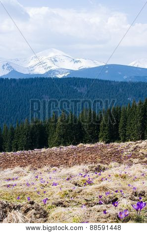 Early spring in the mountains. Ukrainian Carpathians