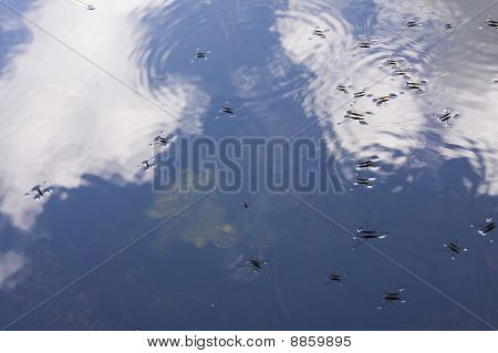 Team Of Common Pond Skater