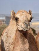 single hump dromedary Camels. The camel market in Al Ain poster