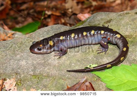 A Spotted Salamander (Ambystoma maculatum) at Monte Sano State Park Alabama poster