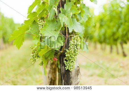Hungarian Traditional Grape Growing