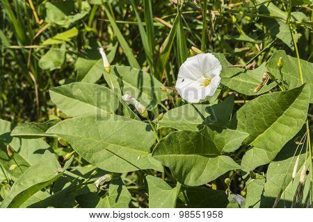 Bindweed Blooming In The Meadow