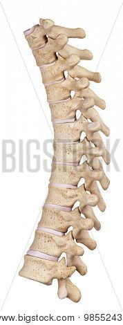 medically accurate illustration of the thoracic spine