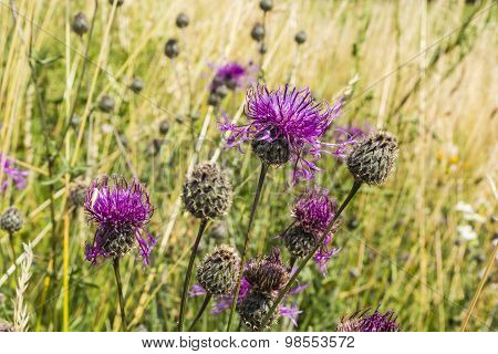 Perennial Plant Of The Asteraceae Family
