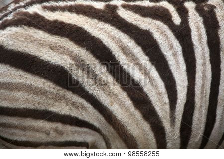 Burchell's zebra (Equus quagga burchellii), also known as the Damara zebra. Skin texture. Wild life animal.