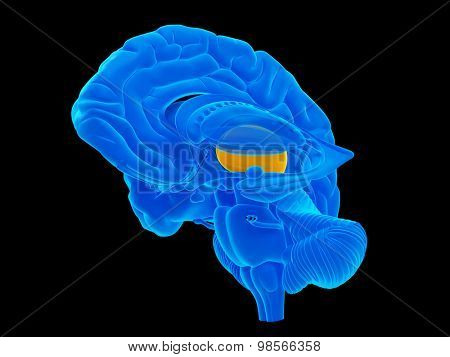 medically accurate illustration of the thalamus