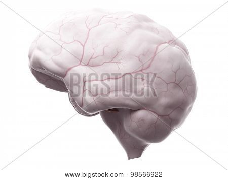 medically accurate illustration of the dura mater