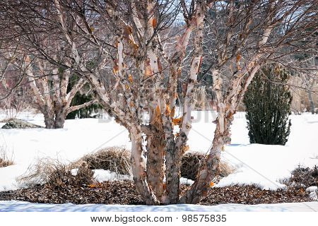 Vintage Look River Birch Tree In Winter With Peeling Bark