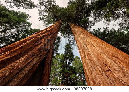 Giant tree closeup in Sequoia National Park