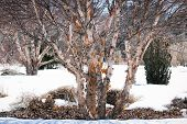 A river birch or red birch betula nigra with peeling bark in winter poster