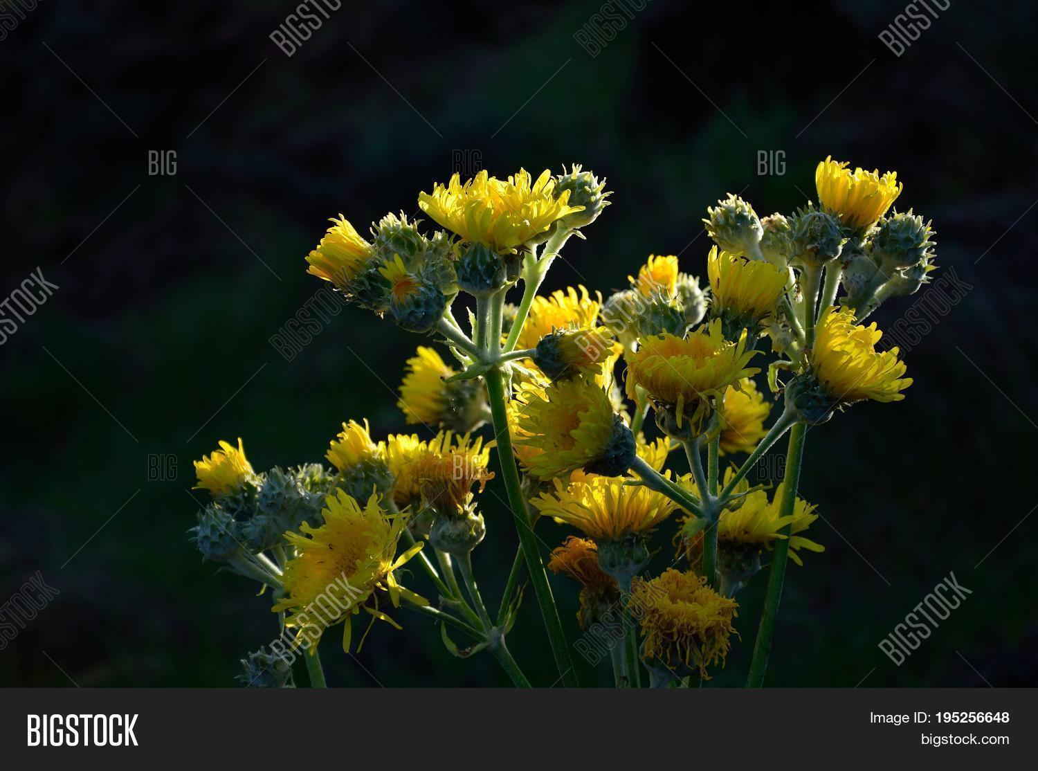 Cluster Bright Yellow Image Photo Free Trial Bigstock