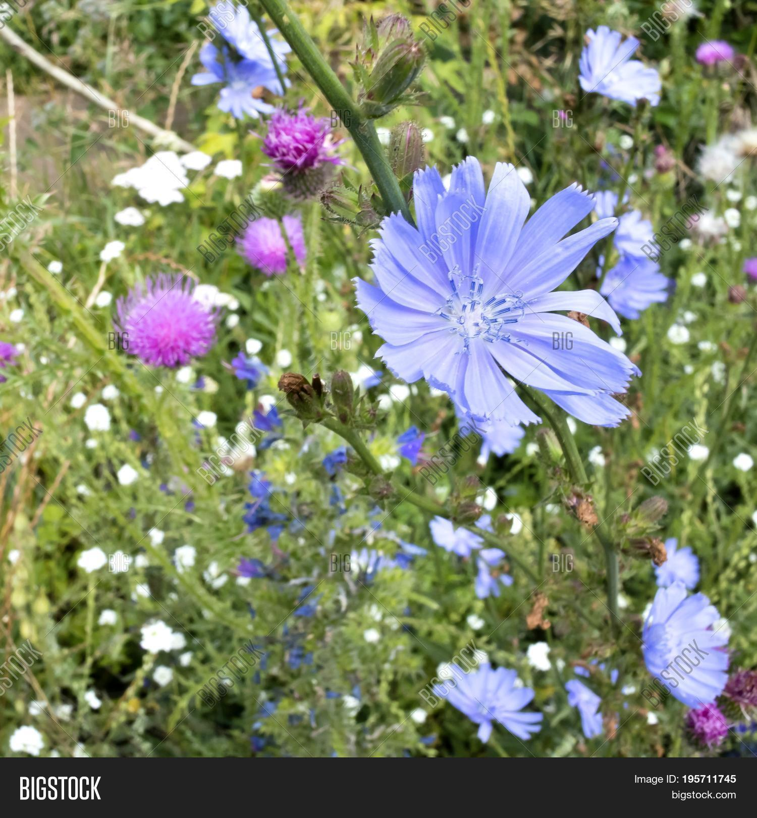 blue flowers of chicory with latin name Cichorium