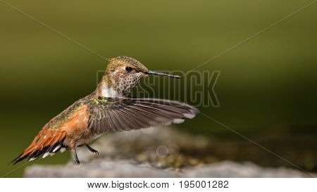 Detailed and Iridescent Female Rufous Hummingbird Wading
