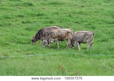 Cows grazing grass on green farmland field of an alpine meadows fenced with electric hedge Switzerland