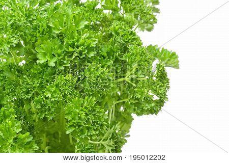 fresh parsley leafs studio isolated studio isolated closeup