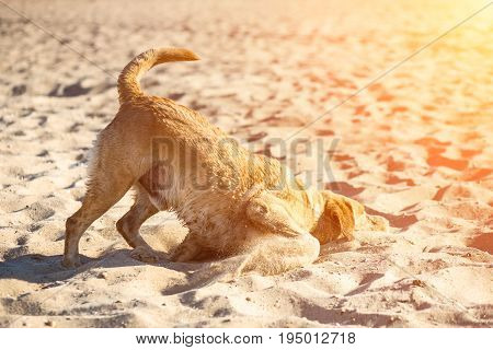 Labrador retriever dog on beach. Dog on the sand near the river. Red-haired retriever lying in the sand. Sun flare