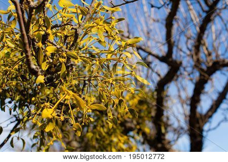 Illuminated by sunlight Mistletoe grows on a tree, close-up