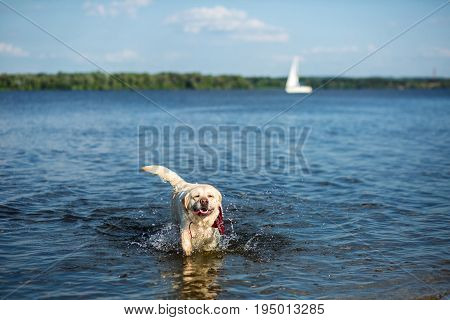 Labrador Retriever dog running through water creating huge splash and water droplets. A dog in a red collar