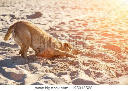 Labrador retriever dog on beach. Dog on the sand near the river. Red-haired retriever lying in the sand. Sun flare