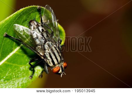 Close up of a green fly on a green leaf,Fly is carrier of diarrhea,Macro of a green fly.