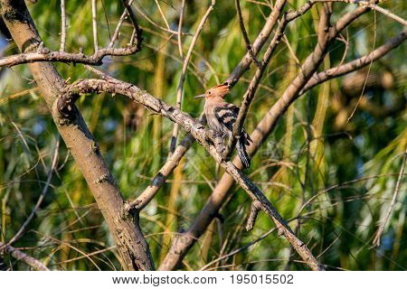Animal Wild Hoopoe On A Branch
